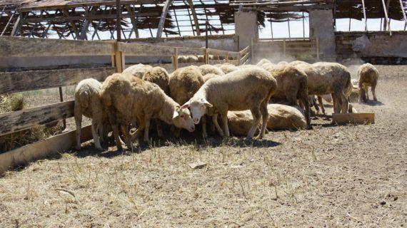 В Крыму развивают овцеводство