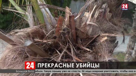 Каштаны и пальмы в Крыму поедают вредители