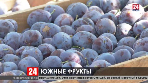 В Крыму собрали уже почти 200 тонн слив