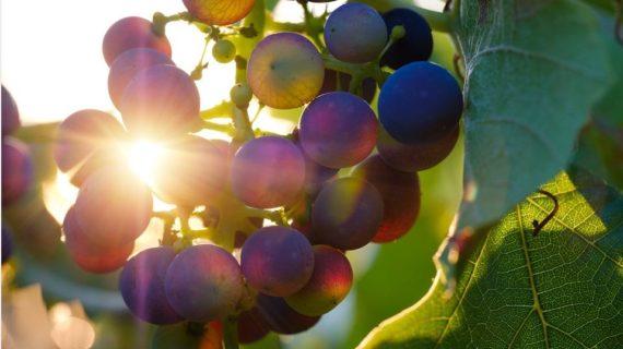 В Крыму отмечают День виноградаря и винодела