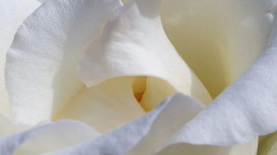 В Евпатории проходит благотворительная акция «Белый цветок»