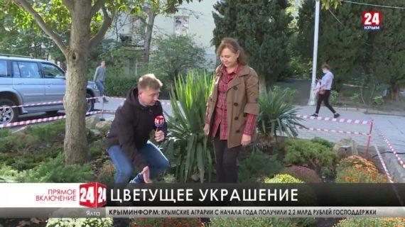 На клумбах Ялты начали высаживать хризантемы