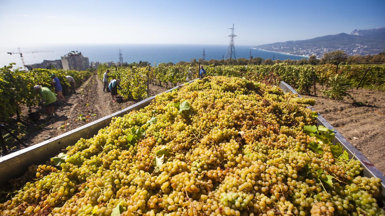 Более 80 тысяч тонн винограда собрали крымские аграрии