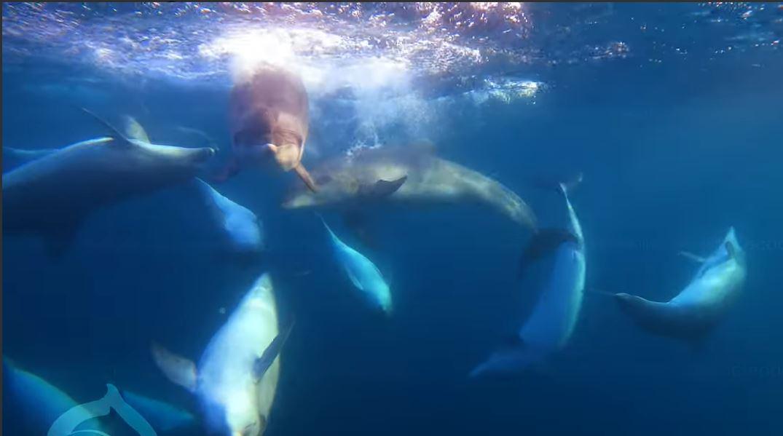 В Крыму показали видео с охотой дельфинов на кефаль
