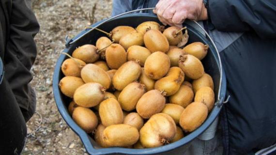 В Крыму убирают урожай киви