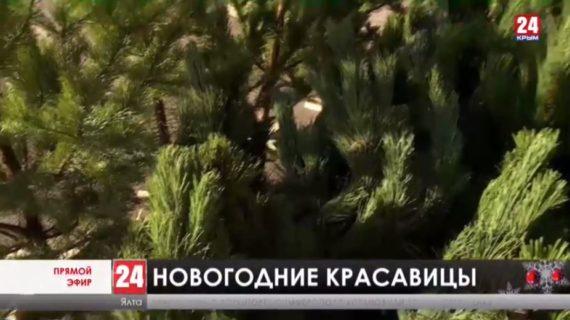 Открылись точки продаж «вечнозеленых» красавиц