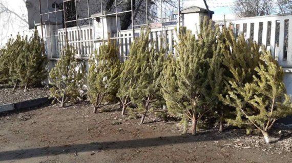 Коммунальщики Симферополя приступили к уборке брошенных ёлок