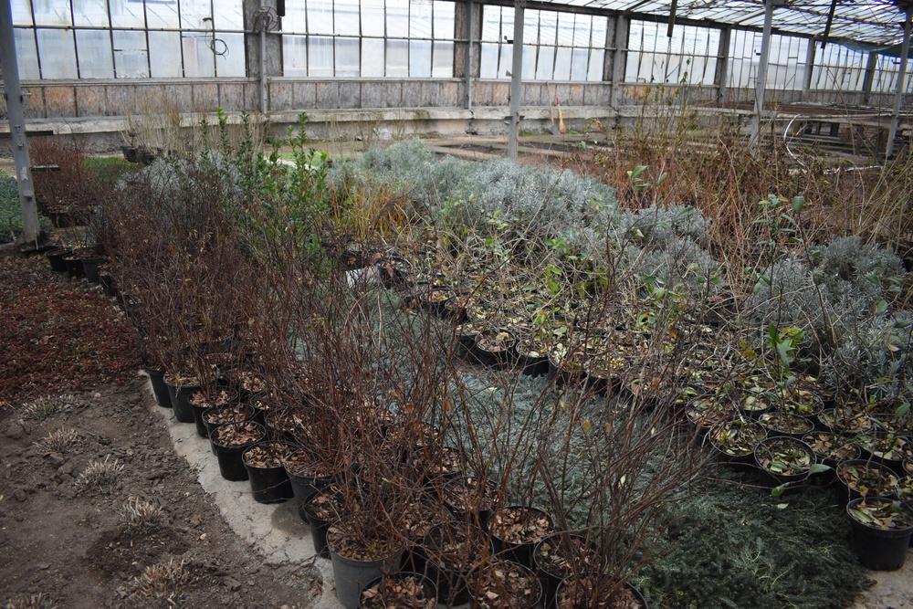 В столице Крыма высадят почти 7 тысяч деревьев и кустарников
