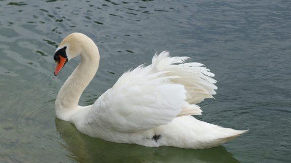 В Крыму сотрудники МЧС эвакуировали лебедей-шипунов с озера Сасык-Сиваш