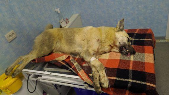 Волонтёры: В Симферополе мужчина натравил на дворнягу своего бойцовского пса и сам стал добивать животное доской