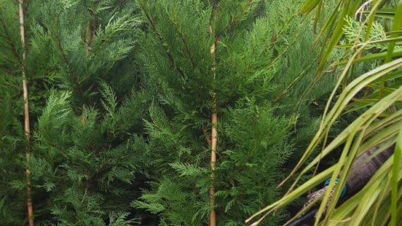 Крымчан приглашают на высадку деревьев в парк «Форос»