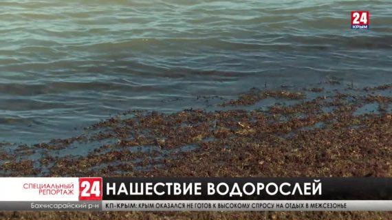 Морская тревога. Тонны водорослей выбрасывает на берега полуострова