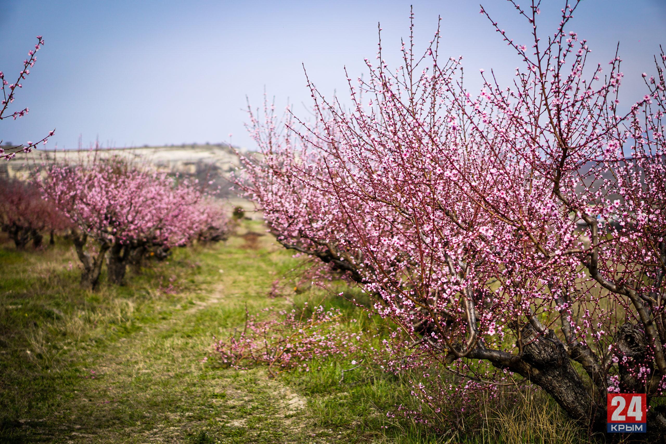 В Крыму зацвели персиковые сады