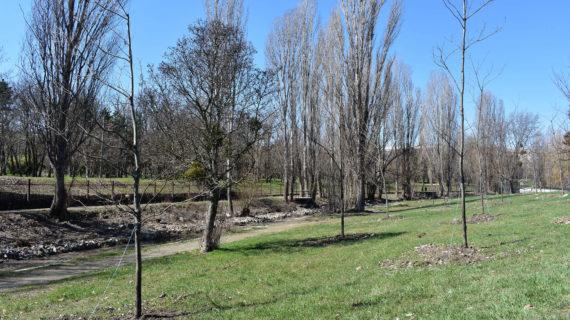 В Симферополе вдоль набережной высадили 33 краснолистных дуба