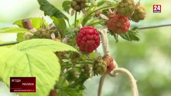 Фермеры пытаются сделать доступной цену на ягоды
