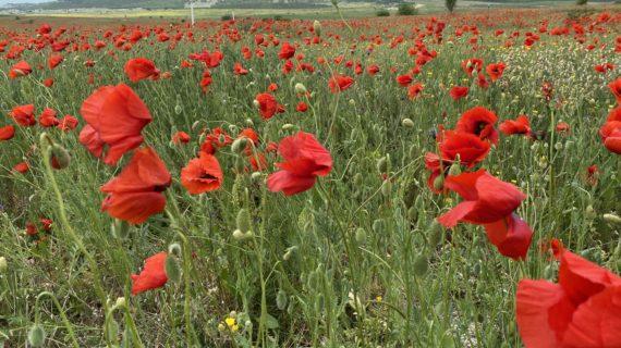 В Крыму началось массовое цветение маков