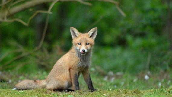 В одном из районов Севастополя ввели карантин из-за бешеной лисы