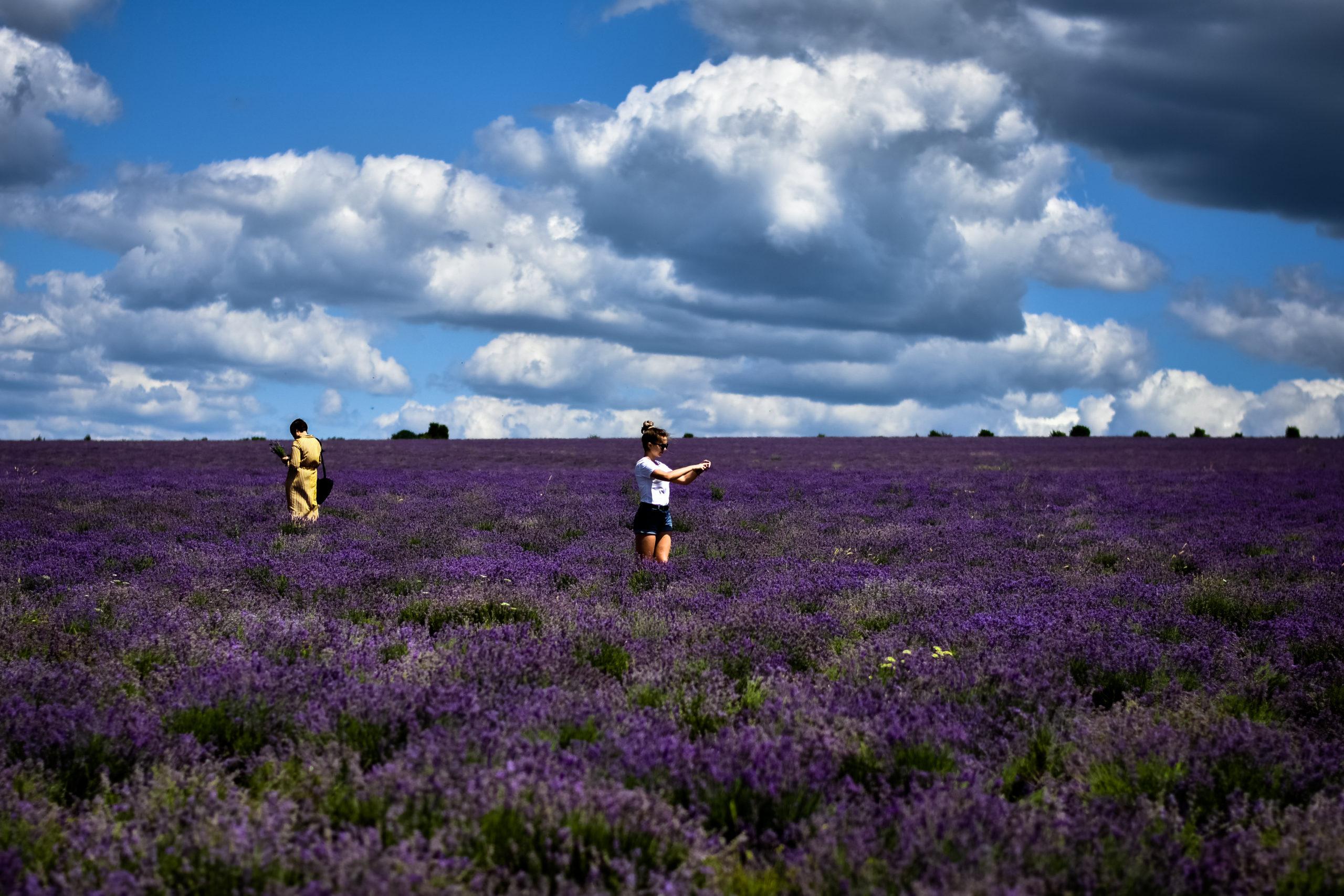 Лавандовые поля в Крыму: когда цветут и где находятся