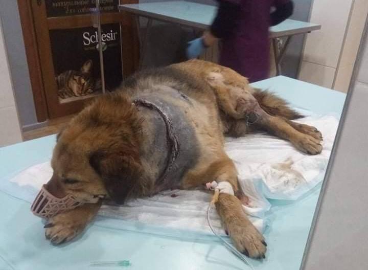 16 операций и почти 90 тысяч рублей долга: Выжившего пса с перерезанным горлом выписывают из ветклиники