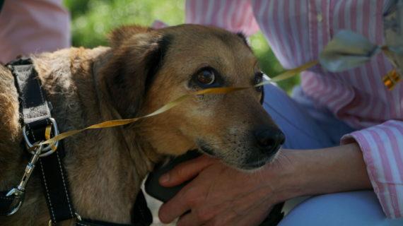 В Симферополе пропал пёс, которого выписали из стационара после тяжелых травм и 16 операций