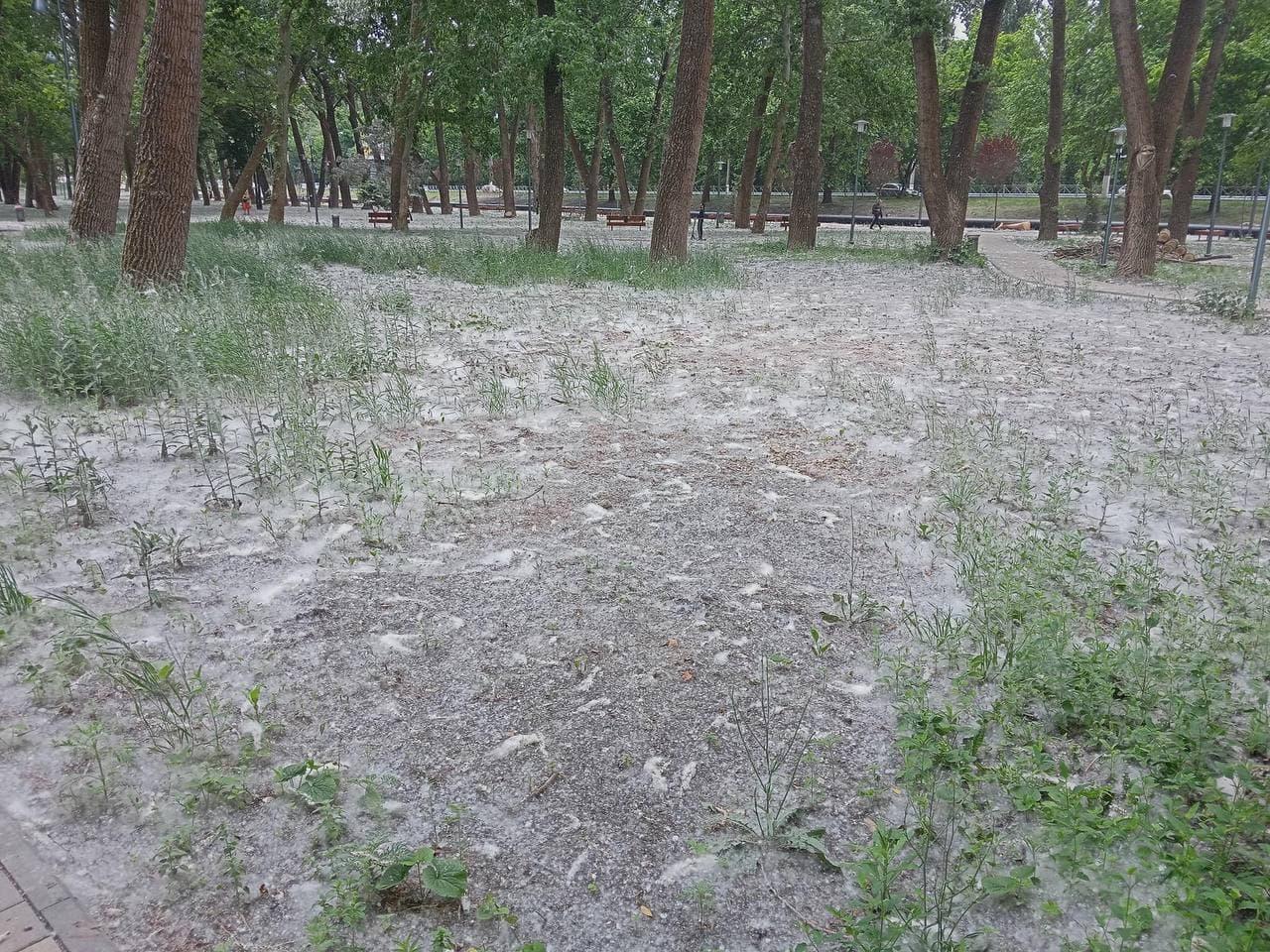 Эксперт рассказала, с чем связано активное цветение тополя в Симферополе