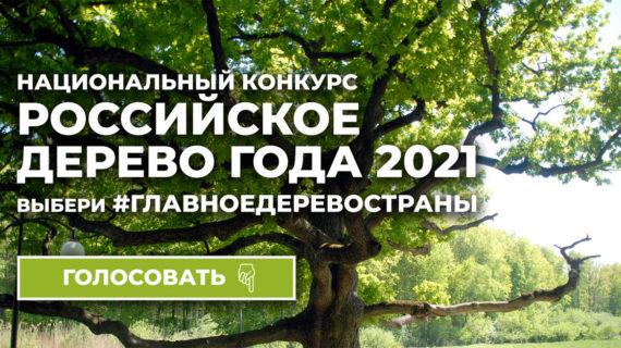 Севастопольский можжевельник участвует в конкурсе «Российское дерево года – 2021»