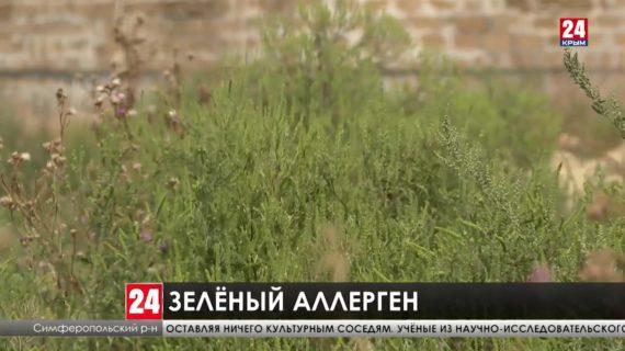 В Крыму зацветает сорняк-аллерген. Как учёные собираются победить амброзию?