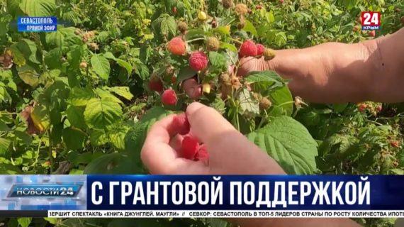 Миллионы на поддержку фермеров: как развивают производство ягоды в Севастополе