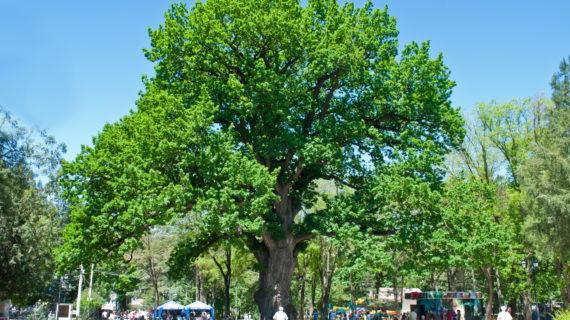 В Симферополе спасают 600-летний дуб