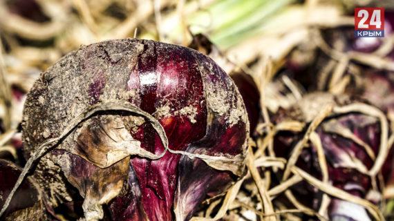 В селе Холмовка Бахчисарайского района в этом году соберут 400 тонн ялтинского лука
