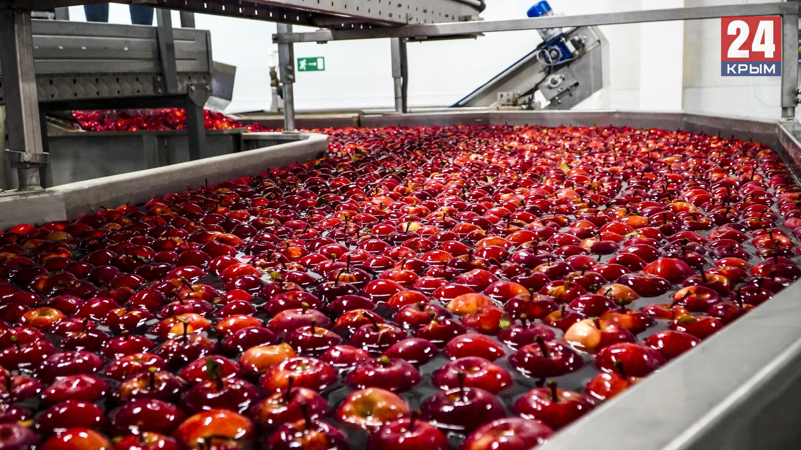 В Крыму почти за две недели собрали до 40 тысяч тонн яблок. ФОТО
