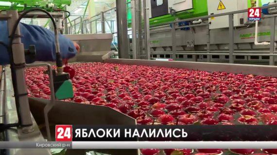 В Кировском районе идет сбор яблок