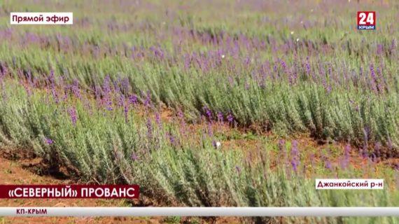 Крымский Прованс. Где и как выращивают лаванду на севере полуострова?
