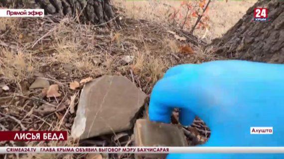 Лисья беда. На Южнобережье спасают диких зверей от смертельной инфекции