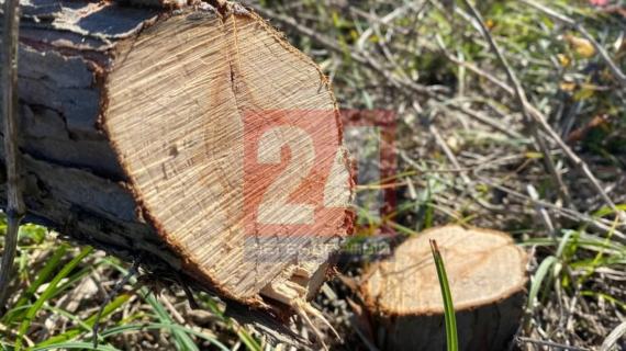 Под Севастополем неизвестные срубили больше 400 краснокнижных деревьев
