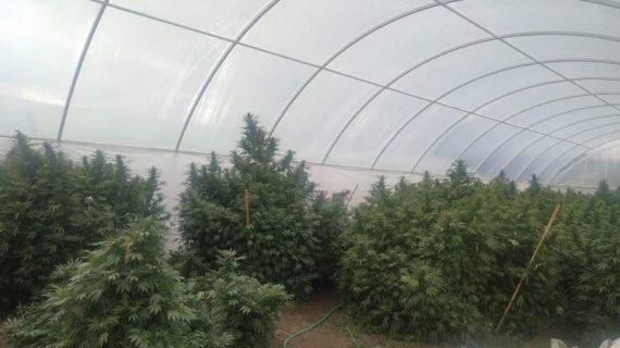 В Кировском районе обнаружили огромную плантацию конопли